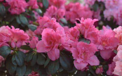 En Mai enchantez vos maisons d'orchidées, rhododendrons ou de  stephanotis