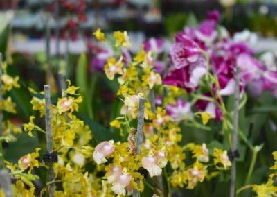 floracom-Oncidiums