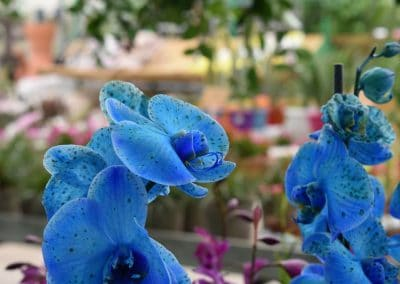 floracom-mai-orchidéesbleu