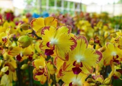 floracom-mai-orchidéestachetés