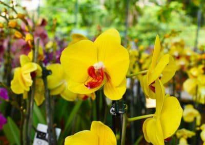 floracom-orchidéesjaunes