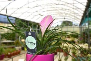 floracom plantes bromelia martinique – 08