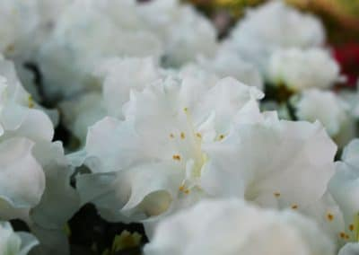 floracom-rhododendron-mai2019