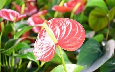 Fête des Anthuriums, Floracom est à votre écoute !